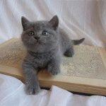 Британське голубе кошеня фото