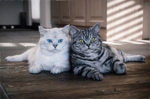 Британський білий та мраморний коти