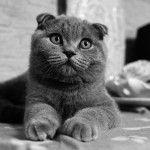 Британський висловухий кіт фото