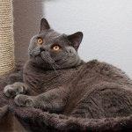 Британський голубий кіт фото