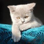 Британський ліловий котик фото