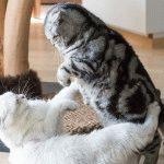 Британський мармуровий кіт фото