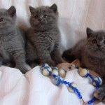 Британські голубі кошенята фото