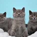 Британські кошенята фото