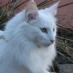 Біла кішка фото 3