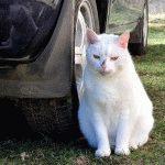 Білий кіт фотографія