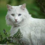 Білий кіт фото породи турецька ангора