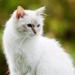 Білий кіт фото 2