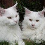 Білі кішки фото