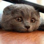 Висловуха кішка фото
