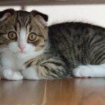 Висловухе кошеня фотографія