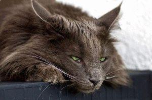 Гастрит у кота