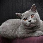 Голуба британська кішка фото