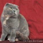 Голубий шотландський висловухий кіт фото
