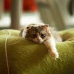 Довгошерстий висловухий кіт фото