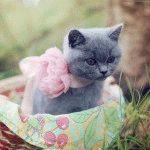 Кошеня британської породи фото