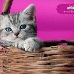 Кошеня з реклами Віскас - британська короткошерста порода