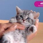 Кошеня з реклами Віскас - яка порода