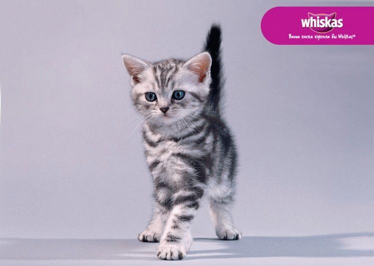Кошеня з реклами Віскас