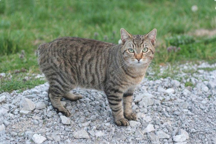 Кіт породи Менкс