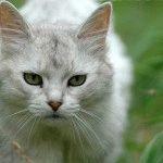 Кіт сомалі срібного кольору шерсті
