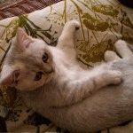 Кішка британська шиншила фото