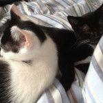 Лікування маститу у кішки