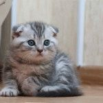 Миле висловухе кошеня фото