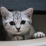Мраморни1 британське кошеня фото