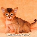 Розплідник Сомалійських котів «Somalicana»