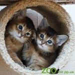 Розплідник Сомалійських котів «Sunny Fox»