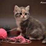 Розплідник британських короткошерстих котів «Anima ART»