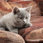 Розплідник британських короткошерстих котів «Bastet Mystery»