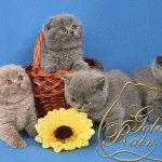 Розплідник британських короткошерстих котів «Golden Rain»