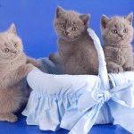 Розплідник британських короткошерстих котів «Roslin»