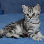 Розплідник британських котів «Marble Design UA»