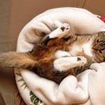 Смішна висловуха кішка фото