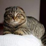 Смішний висловухий кіт фото