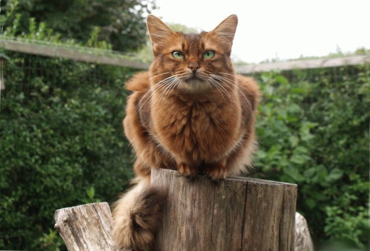 Сомалійська кішка характер