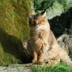 Сомалійський кіт фотографія