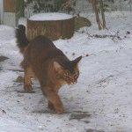 Сомалійський кіт фото