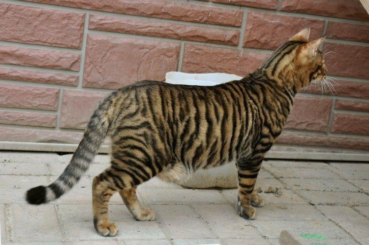 Тойгер - порода котів тигрового окрасу