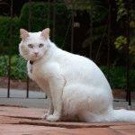 Турецька ангора біла фото