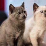 Фото британських кошенят