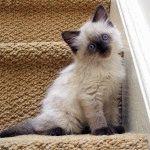 Фото британського кошеняті
