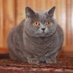 Фото британської голубої кішки
