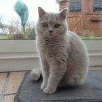 Фото британської короткошерстої кішки лілового кольору