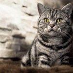 Фото британської кішки мармурового забарвлення