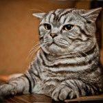 Фото британської кішки мармурового кольору