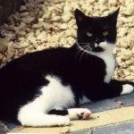 Фото британської чорної кішки